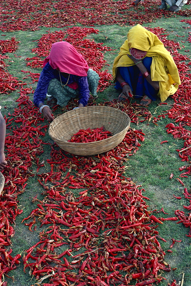 Chilli harvest, Rajasthan state, India, Asia