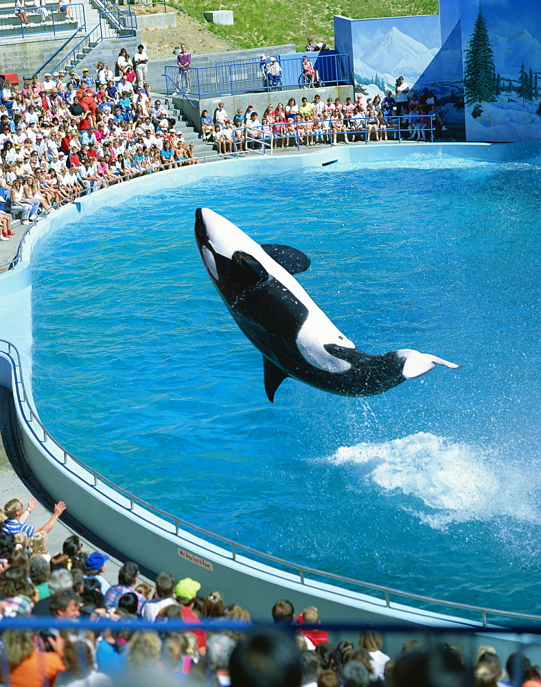 Performing killer whale, Marine World Africa USA, California, United States of America, North America - 190-9312