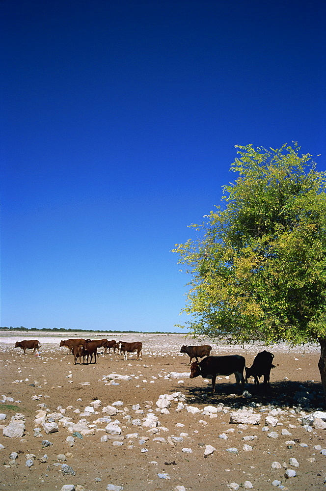 Cattle farm on edge of Kalahari Desert, Botswana, Africa - 197-2411