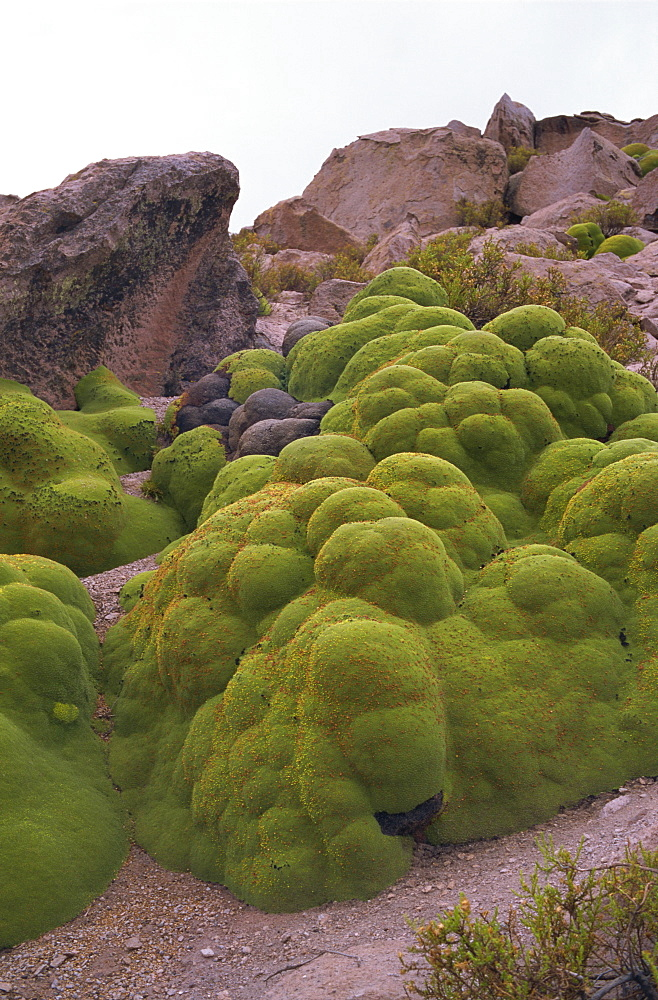 Vareta (Llareta) plant, Lauca National Park, Chile, South America - 197-4042