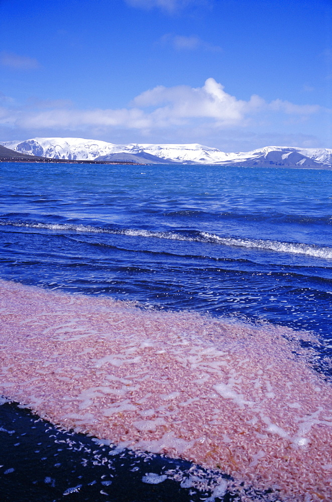 Krill swarm cooked pink by fumarole activity on the volcanic island of Deception Island, Antarctica, Polar Regions