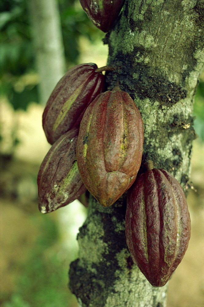 Close-up of cocoa pods on a tree in Sri Lanka, Asia