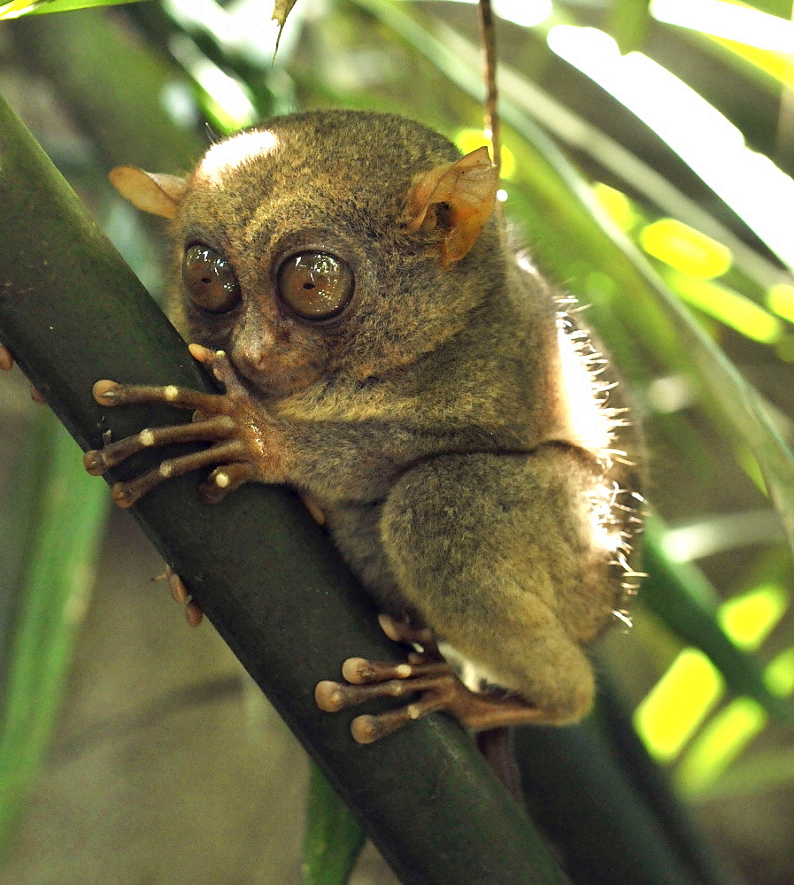 The Philippine tarsier (Tarsius syrichta), known locally as the Maumag, an endangered tarsier species endemic to the Philippines, Southeast Asia, Asia