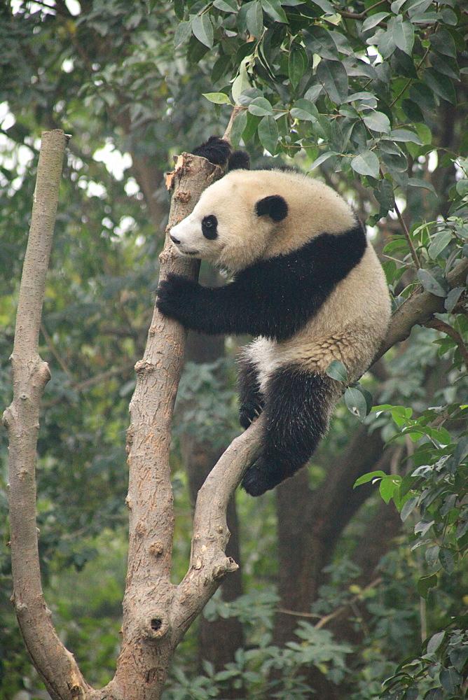 Giant Panda, Chengdu Panda Reserve, Sichuan, China, Asia  - 238-6460