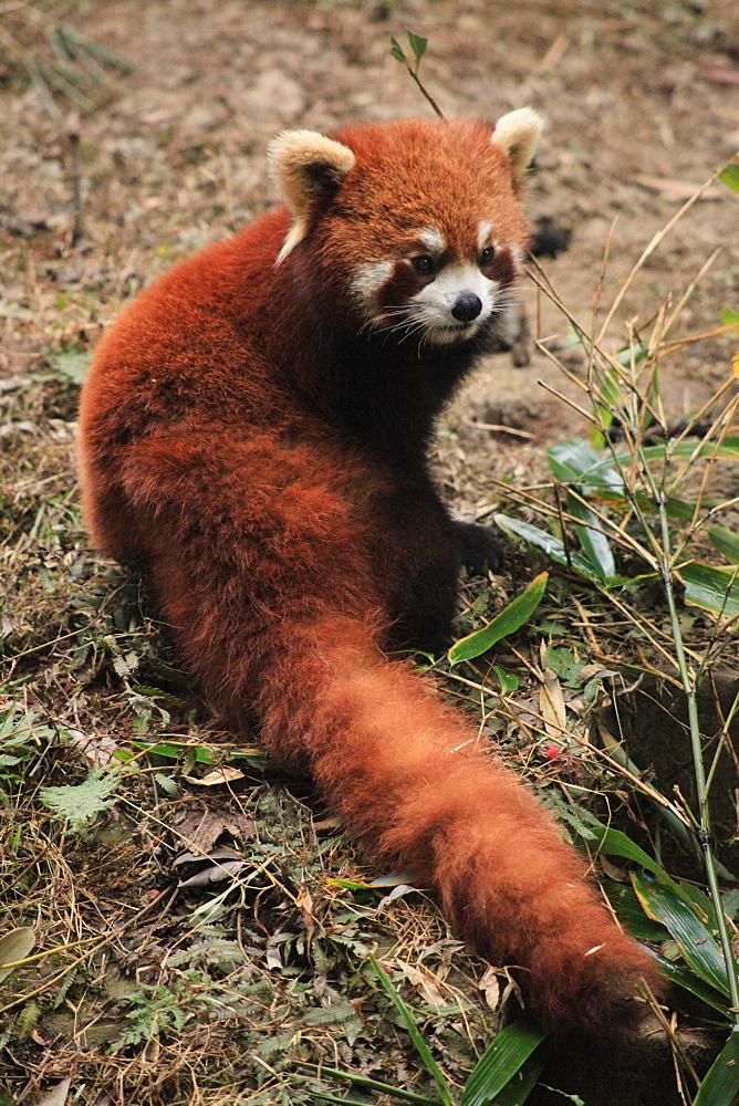 Red Panda, Chengdu Panda Reserve, Sichuan, China, Asia  - 238-6464