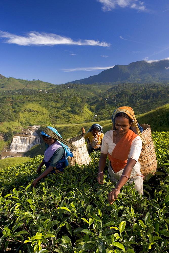 Women tea pickers, Tea Hills, Hill Country, Nuwara Eliya, Sri Lanka, Asia
