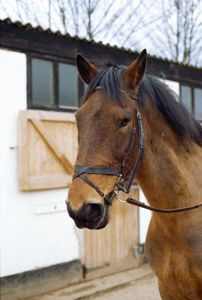 Flash noseband on horse, England, United Kingdom, Europe