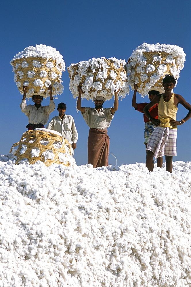 Mill workers on pile of raw cotton balls on Deccan plateau, near Aurangabad, Maharashtra, India, Asia - 29-4667