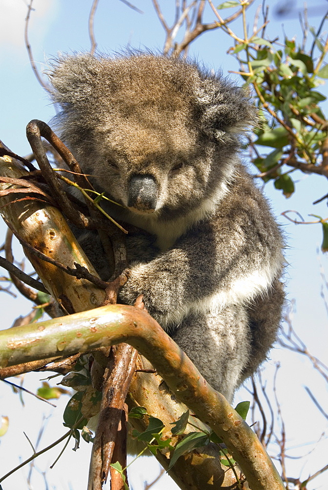 Koala in the wild, in a gum tree at Cape Otway, Great Ocean Road, Victoria, Australia, Pacific