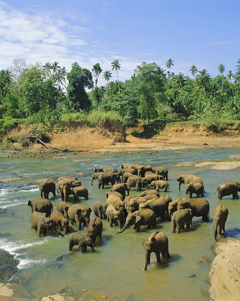 Elephants in the river, Pinnewala, Sri Lanka