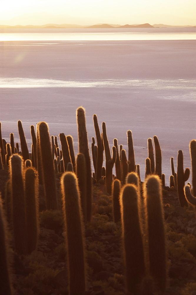 Cacti at sunset, Inkahuasa island, Salar de Uyuni, Bolivia, South America - 312-1497