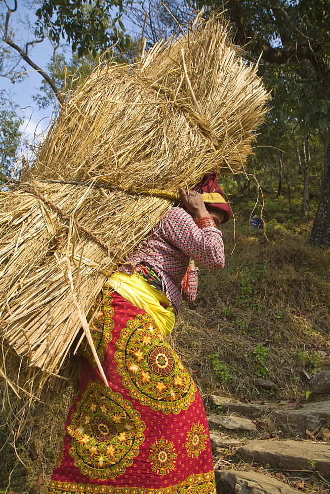 Local woman carrying heavy bale of hay on her back, Royal trek, Pokhara, Nepal, Asia