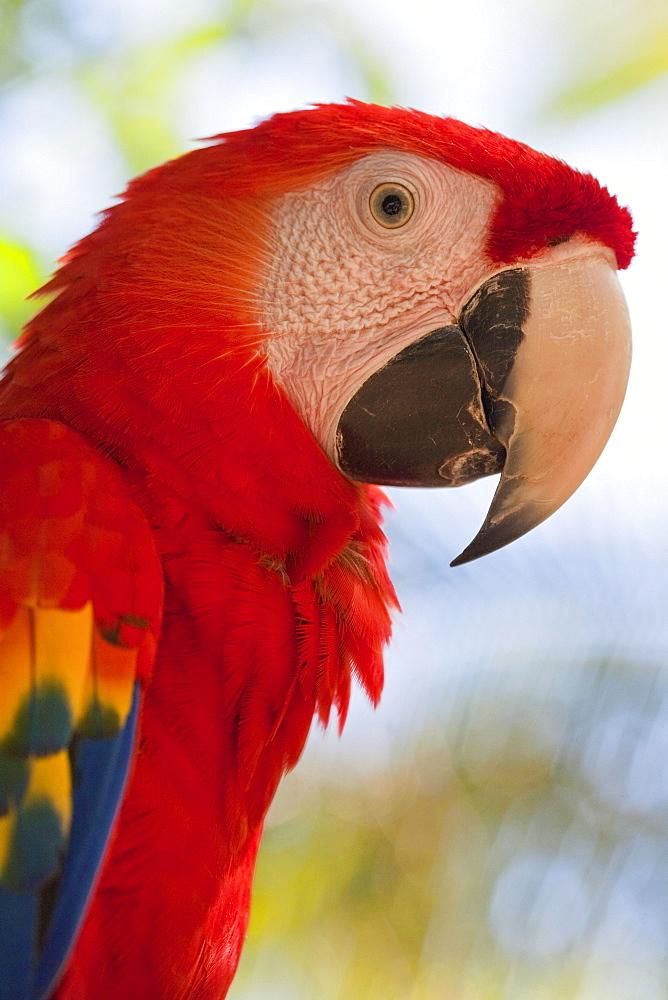 Scarlet macaw, Roatan, Bay Islands, Honduras, Central America