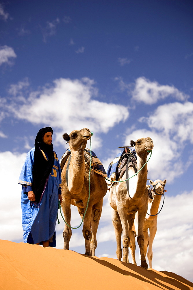 Berber man in blue robe with three camels on the ridge of a sand dune in the Erg Chebbi sand sea near Merzouga, Morocco, North Africa, Africa