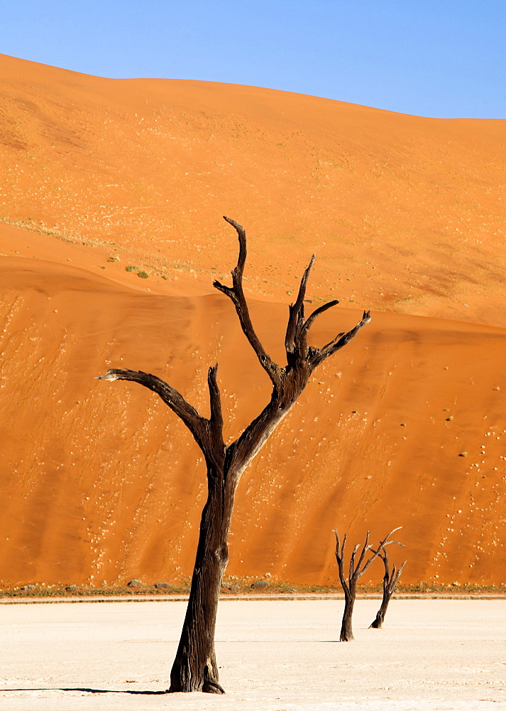 Dead camelthorn trees said to be centuries old against towering orange sand dunes bathed in evening light at Dead Vlei, Namib Desert, Namib Naukluft Park, Namibia, Africa