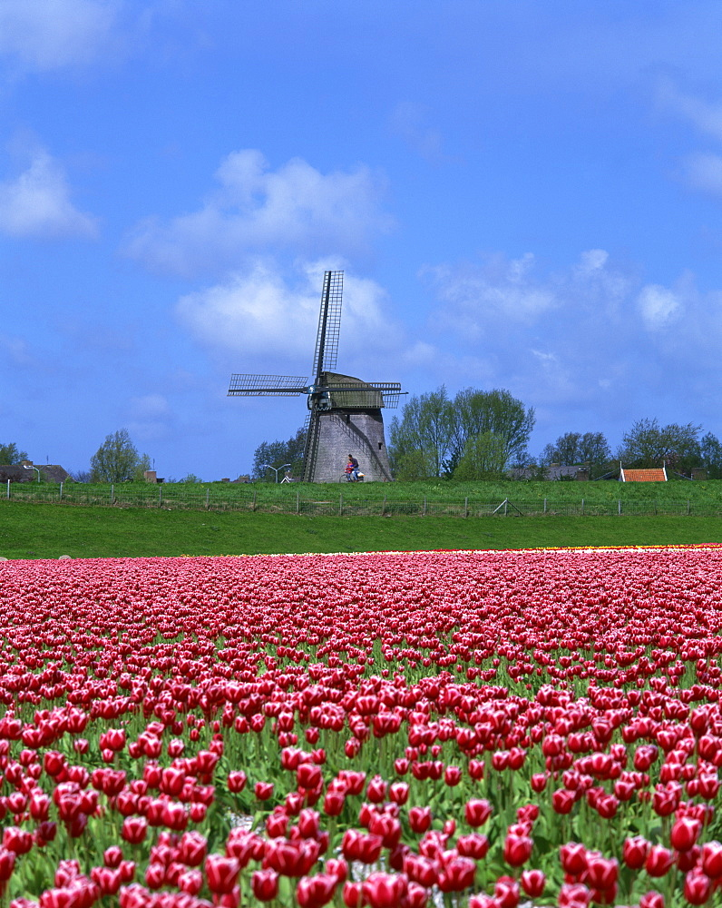 Field of tulips in front of a windmill near Amsterdam, Holland, Europe