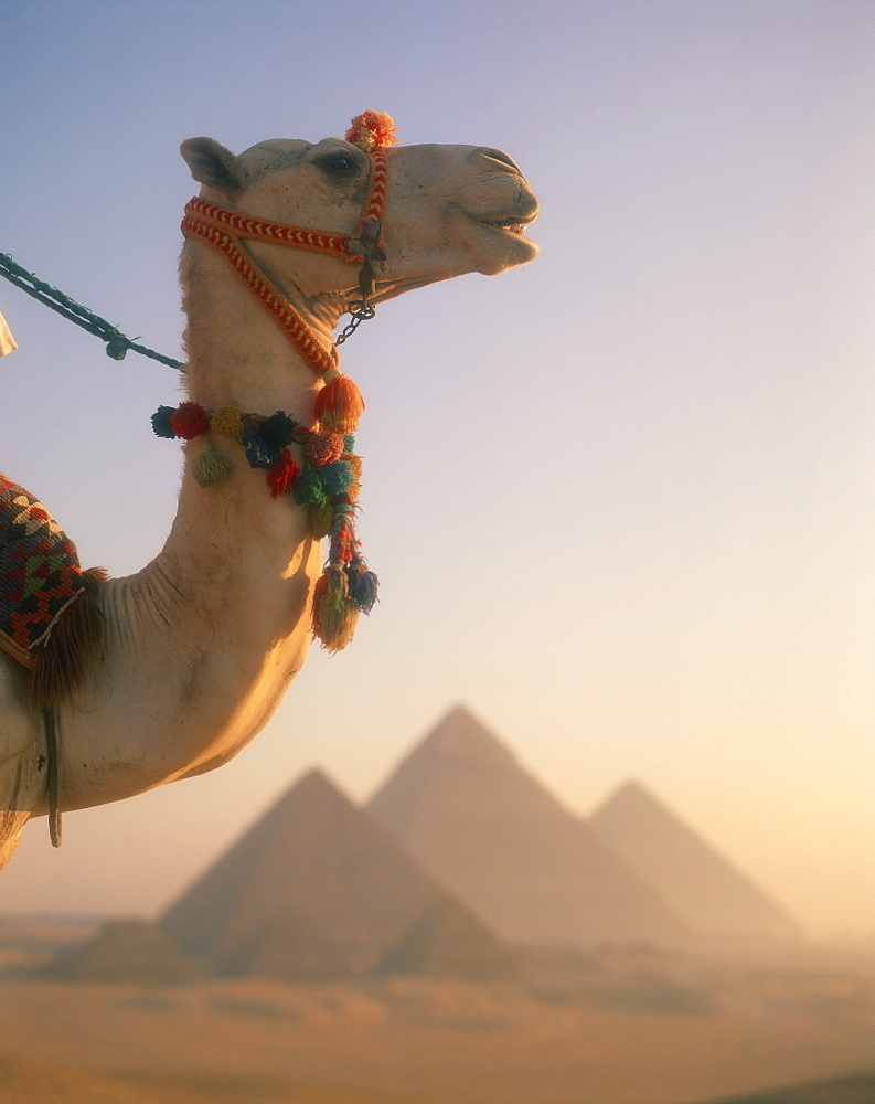 Close-up of a camel before the Pyramids at Giza, Cairo, Egypt, North Africa, Africa