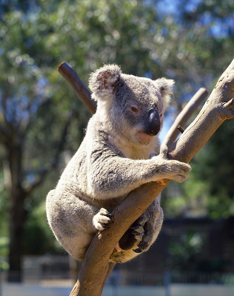 Koala bear, Australia, Pacific