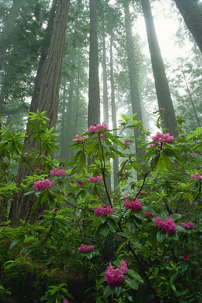 Rhododendrons amongst the mist and tall Redwood trees, California, United States of America, North America
