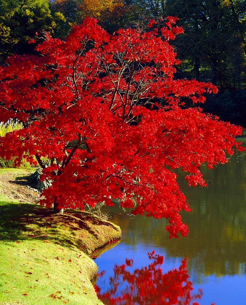 Brilliant red Acer Palmatum Cripsii in autumn, Sheffield Park Gardens, East Sussex, England - 390-2156