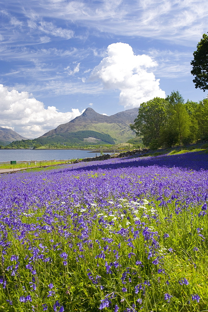 Wild bluebells (Hyacinthoides non-scripta) beside Loch Leven, the Pap of Glencoe beyond, Ballachulish, Highland, Scotland, United Kingdom, Europe - 390-2902