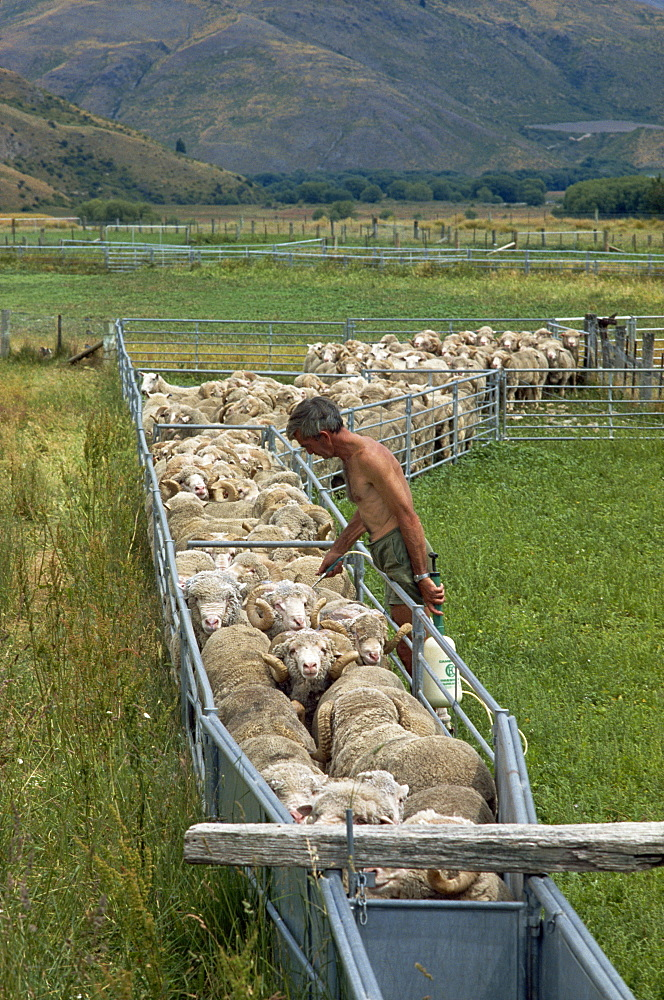 Sheep drenching, central Otago, South Island, New Zealand, Pacific - 395-464