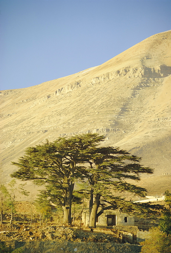 Cedars of Lebanon at the foot of Mount Djebel Makhmal near Bsharre, Lebanon, Middle East