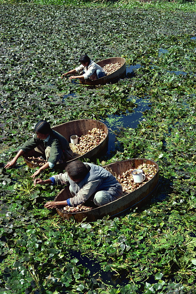 Water chestnut harvest, near Nanking, China, Asia - 399-3753