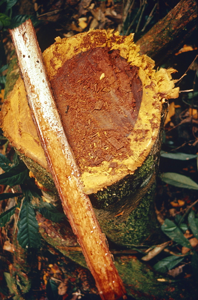 Close-up of shaman's snuff from the yopo tree, the bark of which is made into hallucinogenic powder by the Yanomami Indians in Brazil, South America