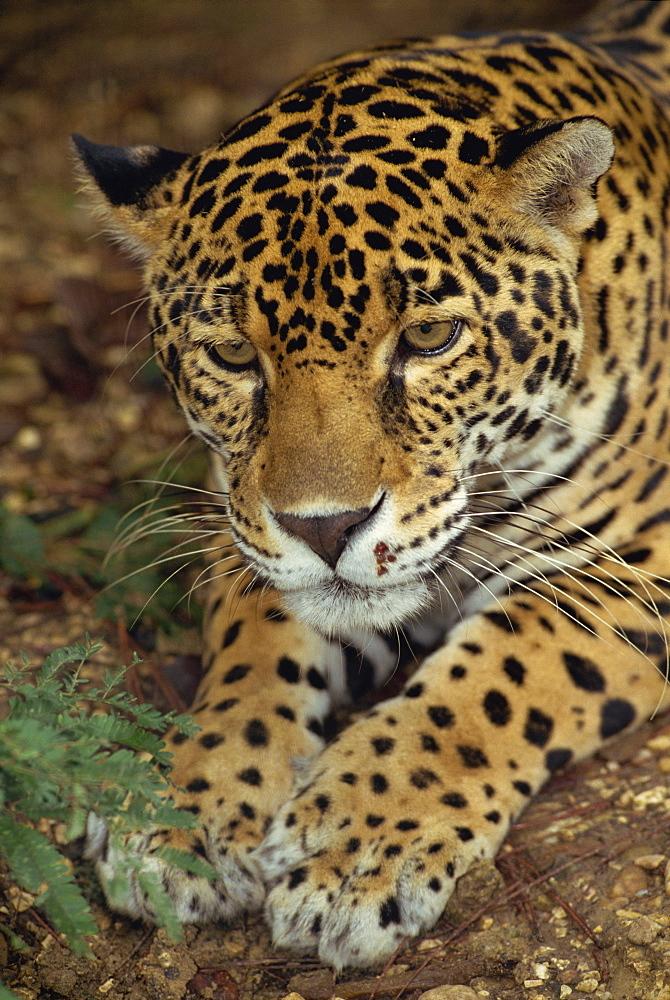Jaguar, Belize, Central America