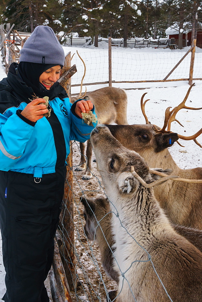 Senior woman traveler feeding reindeer, Reindeer Farm, Torassieppi, Lapland, Northern Finland, Europe