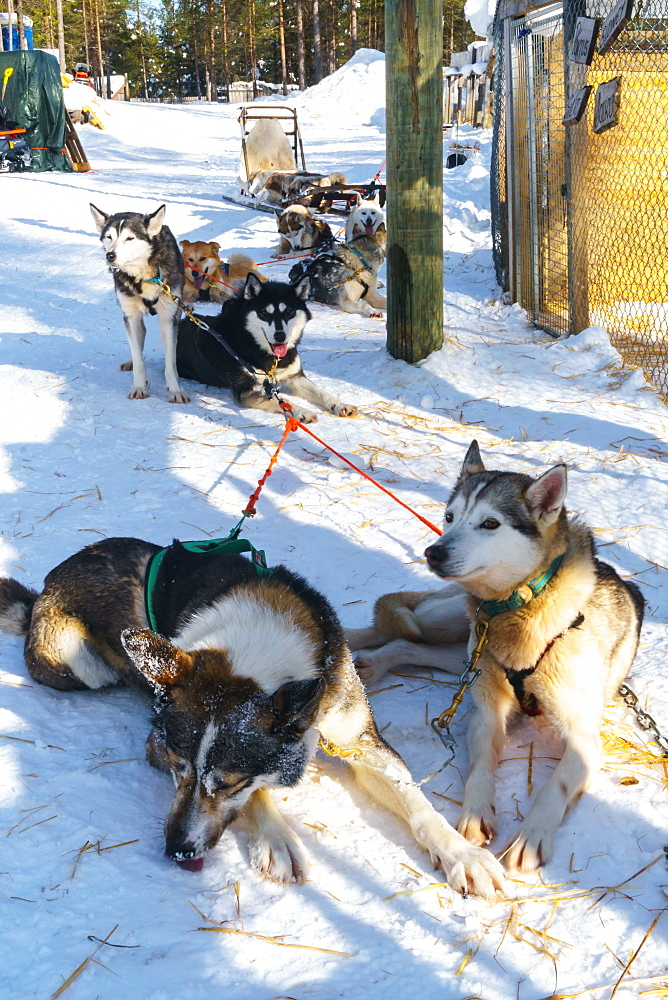 Six husky dog team rests in snow in front of their sled, Husky Farm, Torassieppi, Lapland, Northern Finland, Europe
