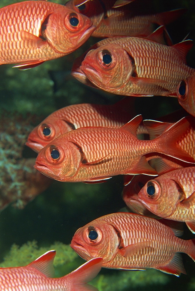 Schooling squirrel fish (Sargocentron species) are nocturnal, Similan Islands, Thailand, Southeast Asia, Asia