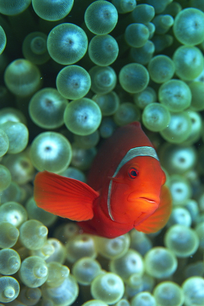 Clownfish (Amphiprion) are symbiotic with anemones, Gizo, Solomon Islands, Pacific