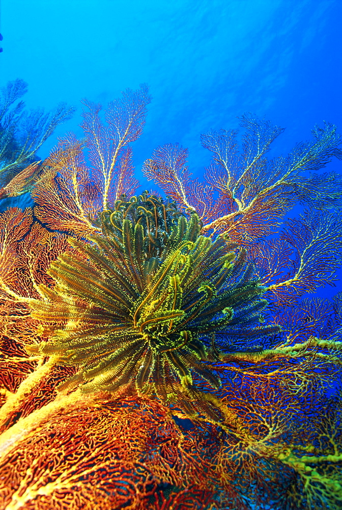 Featherstars perch on the edge of Gorgonian Sea Fans to feed in the current, Fiji, Pacific Ocean - 465-2871