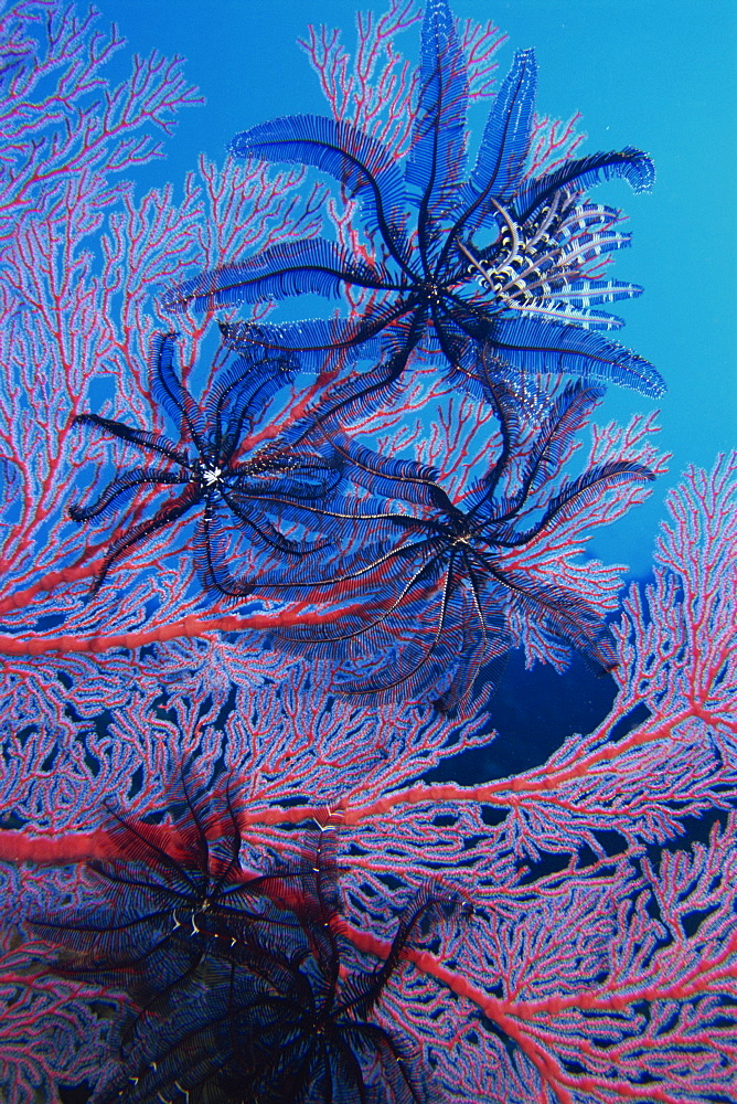Featherstars feeding in current on red gorgonian, Solomon Islands, Pacific Ocean, Pacific