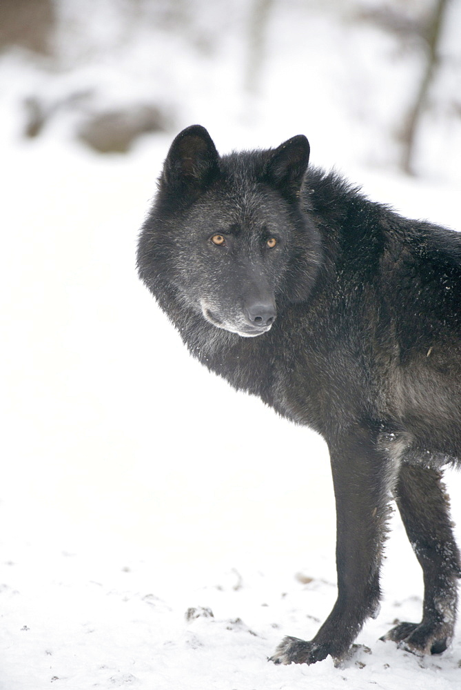 Black melanistic variant of North American timber wolf (Canis Lupus) in snow, Austria, Europe