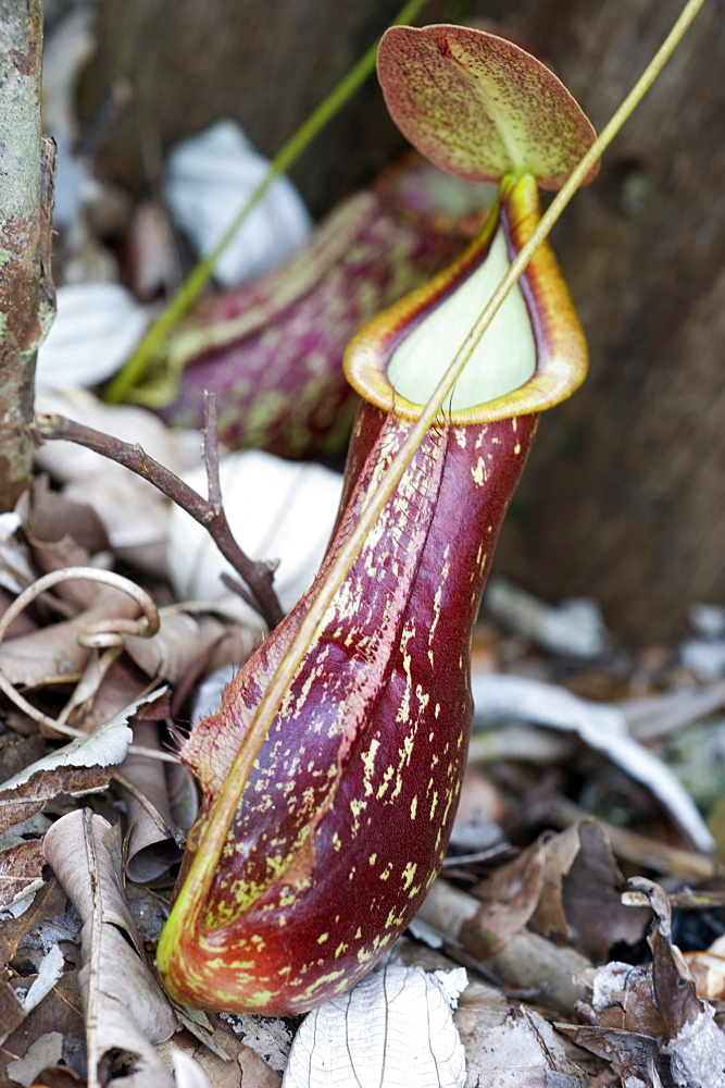 Lower pitcher of the carnivorous pitcher plant (Nepenthes rafflesiana), Sarawak, Borneo, Malaysia, Southeast Asia, Asia