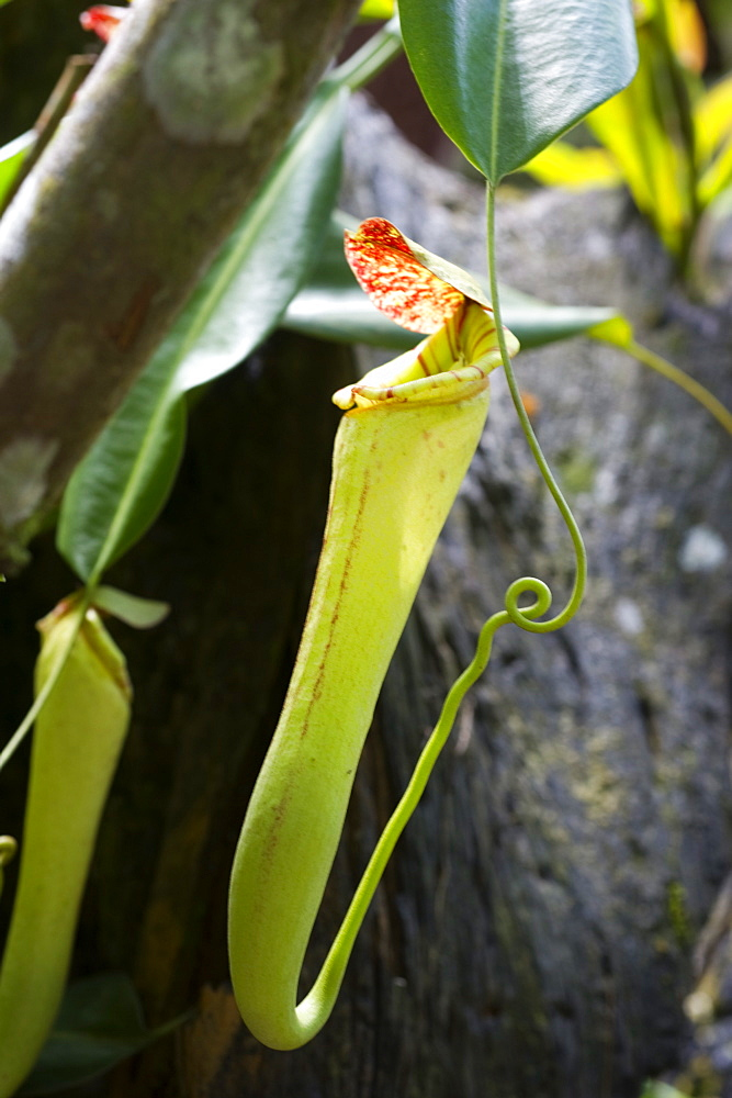 Upper pitcher of the carnivorous pitcher plant (Nepenthes faizaliana) endemic to Sarawak, Borneo, Malaysia, Southeast Asia, Asia