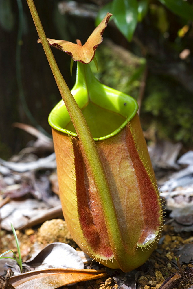 Lower pitcher of the carnivorous pitcher plant (Nepenthes bicalcarata) endemic to Borneo, Sarawak, Borneo, Malaysia, Southeast Asia, Asia