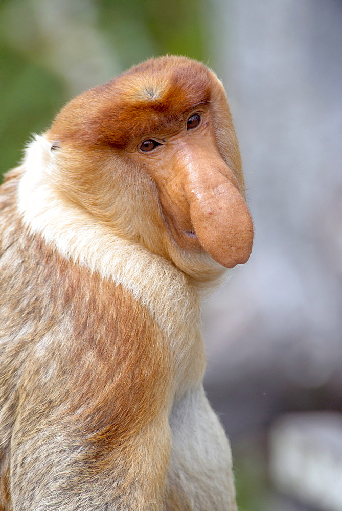 Dominant male proboscis monkey (Nasalis larvatus) has a pendulous nose that covers the mouth and is attractive to females, Labuk Bay Proboscis Monkey Sanctuary, Sabah, Borneo, Malaysia, Southeast Asia, Asia