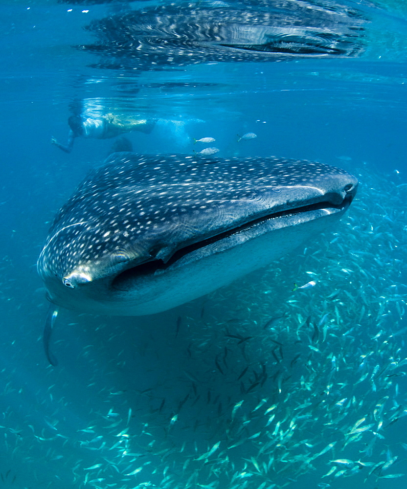 Scientist and whale shark (Rhincodon typus) feeding at the surface on zooplankton, mouth open, known as ram feeding, Yum Balam Marine Protected Area, Quintana Roo, Mexico, North America