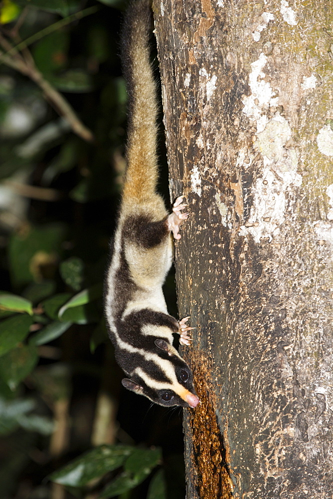 Rarely seen Striped possum (Dactylopsila trivirgata) on tree in the Wet Tropic rainforest of Queensland, Australia, Pacific