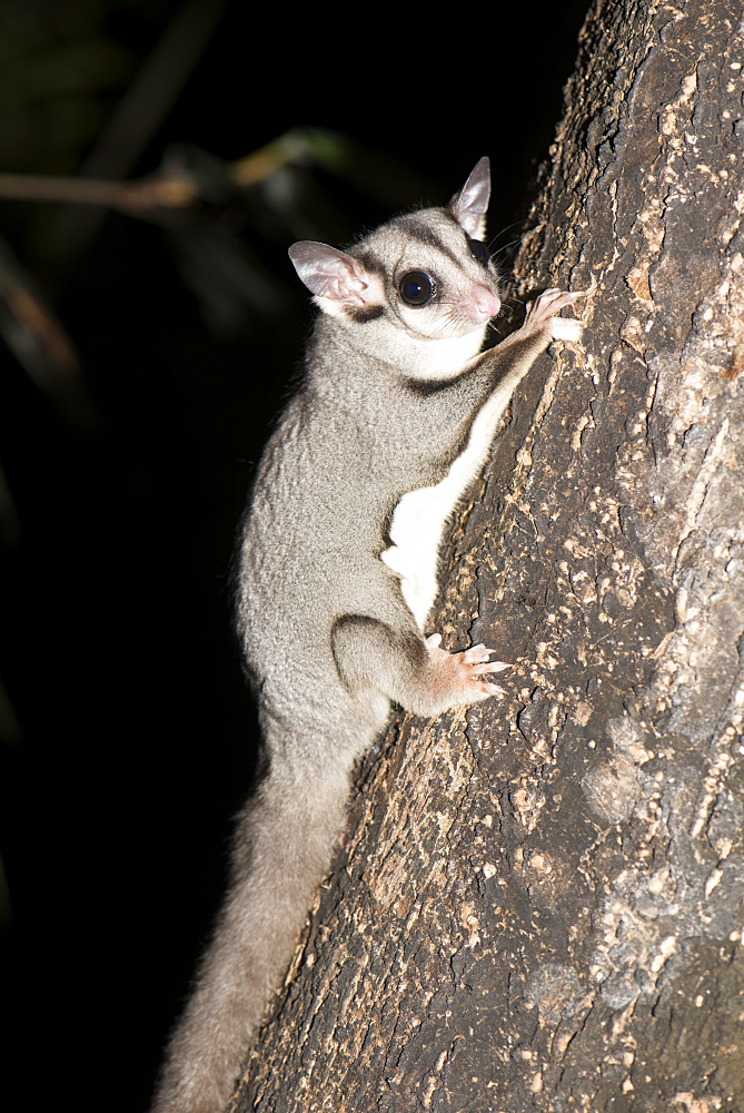 Sugar glider (Petaurus breviceps), has a potagium or thin membrane from wrist to ankle allowing it to glide for short distances, Queensland, Australia, Pacific
