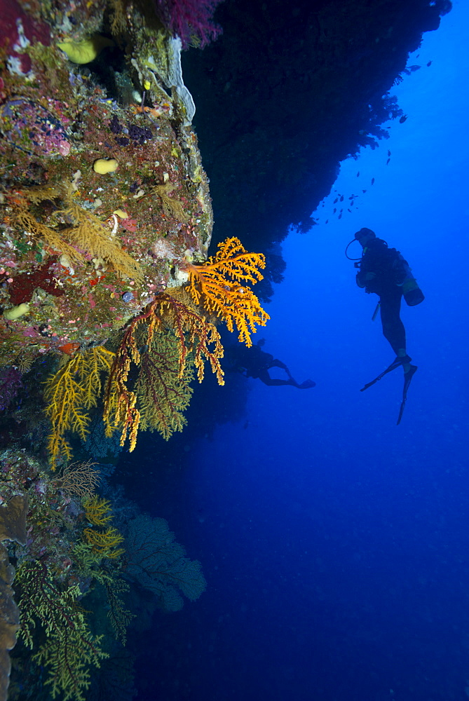 Gorgonian sea fans (Subergorgia mollis) with diver, Queensland, Australia, Pacific