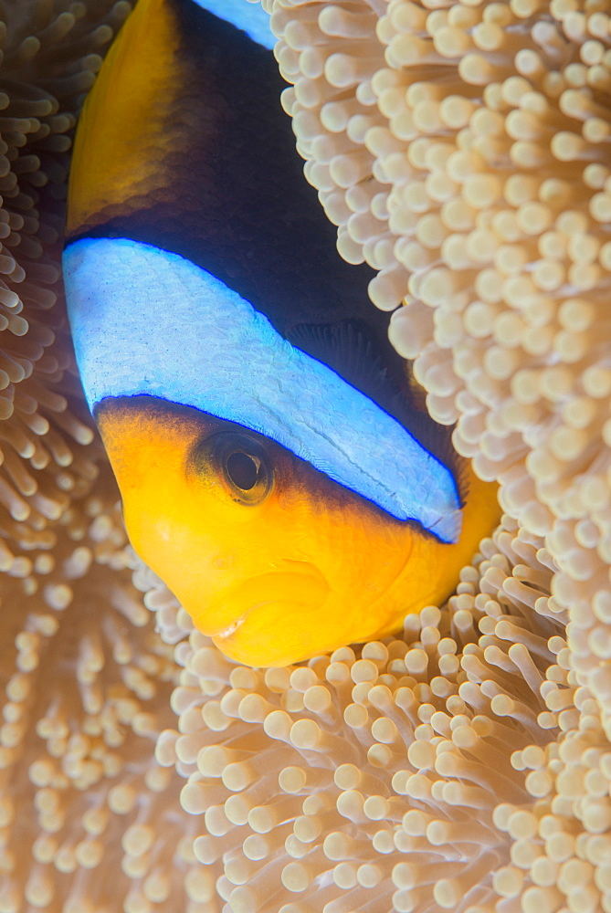 Barrier reef anenomefis (Amphiprion akindynos) in tentacles of host anemone in symbiosis, Queensland, Australia, Pacific