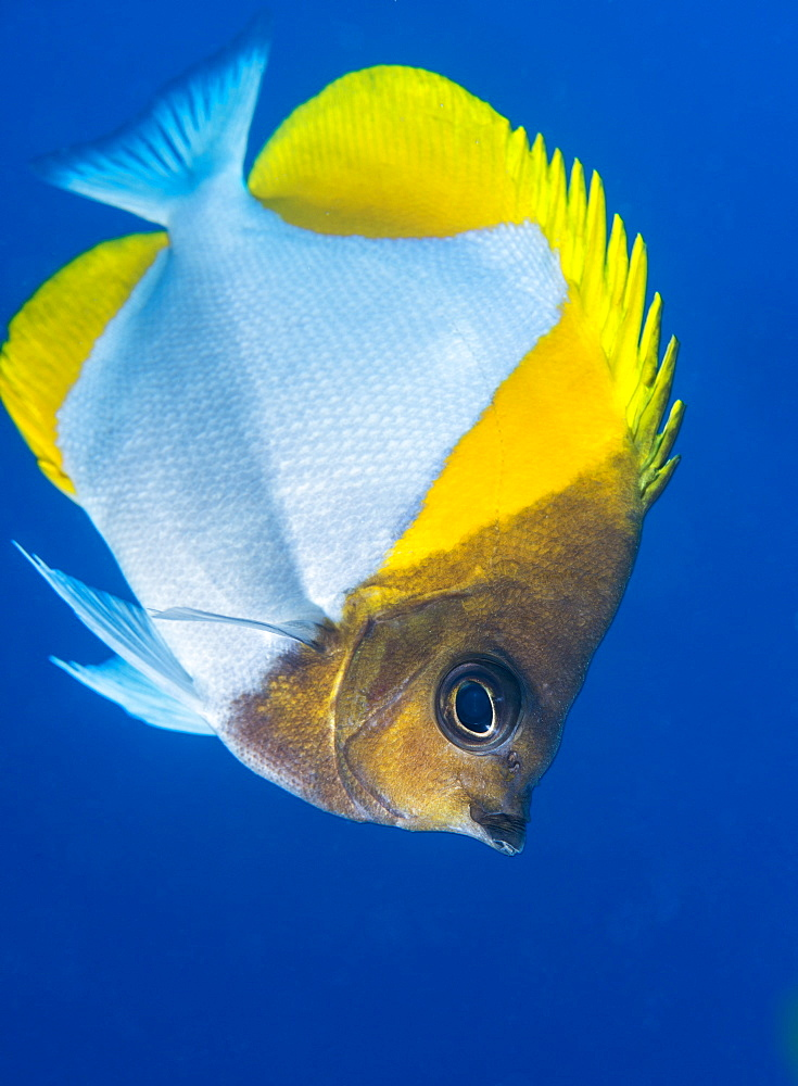 Pyramid butterflyfish (Hemiaurichthys polylepis), Queensland, Australia, Pacific - 465-3363