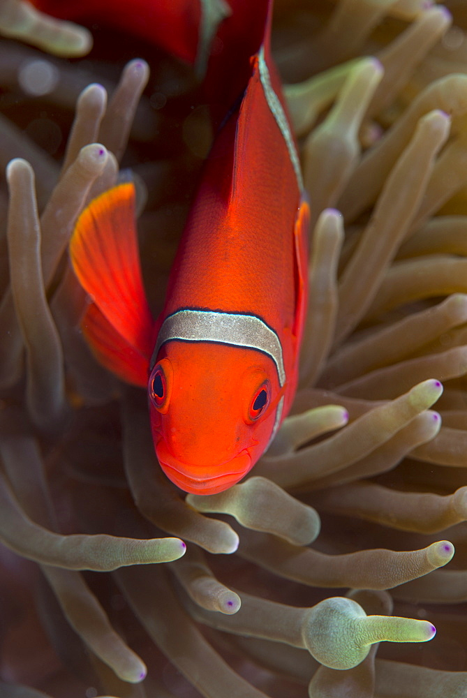 Spine-cheek Anemonefish (Premnas biaculeatus), Queensland, Australia, Pacific