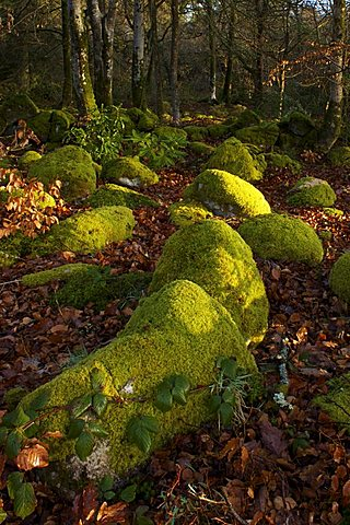 Mossy boulders, Dartmoor National Park, Devon, England, United Kingdom, Europe
