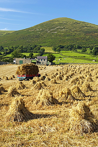 Oat stooks, Knockshee, Mourne Mountains, County Down, Ulster, Northern Ireland, United Kingdom, Europe